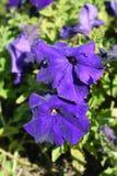 Trädgårds- petunia royaltyfri fotografi