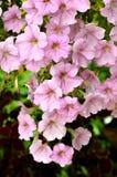 Trädgårds- Petunia för rosa färg Fotografering för Bildbyråer