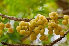 trädgårds- phyllanthustree för acidus Royaltyfri Fotografi