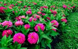 trädgårds- pink arkivbild