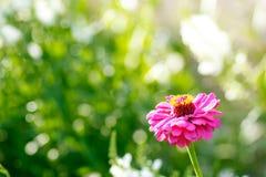 trädgårds- pink för blomma Fotografering för Bildbyråer