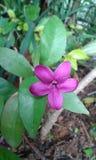 trädgårds- pink för blomma Arkivfoton