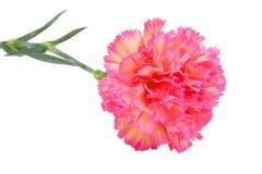trädgårds- pink för nejlika Royaltyfri Foto