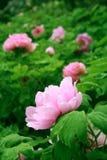 trädgårds- pion fotografering för bildbyråer
