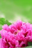 trädgårds- pion royaltyfria foton