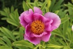 Trädgårds- pionblomma - Paeonia Officinalis Royaltyfri Foto