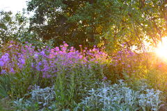 Trädgårds- plats med lilablommor och solinställningen royaltyfri fotografi