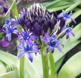 trädgårds- purple för blomma Fotografering för Bildbyråer