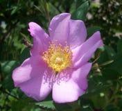 trädgårds- purple för blomma Arkivbild