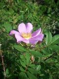 trädgårds- purple för blomma Arkivfoto