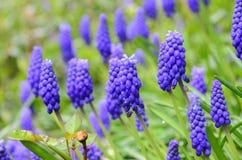 trädgårds- purple för blomma Arkivfoton