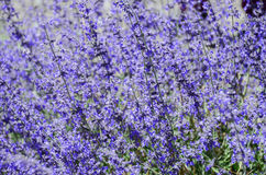 trädgårds- purple för blomma Royaltyfri Fotografi