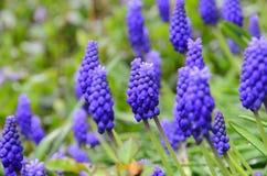 trädgårds- purple för blomma Royaltyfri Foto