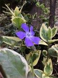 trädgårds- purple för blomma Arkivbilder
