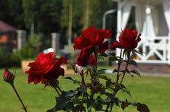 trädgårds- röda ro royaltyfri fotografi