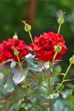 trädgårds- röda ro Arkivfoton
