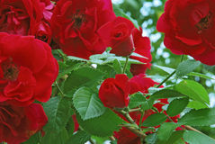Trädgårds- röda rosor för skönhet Royaltyfria Foton