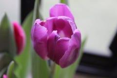 trädgårds- röda tulpan Arkivfoto