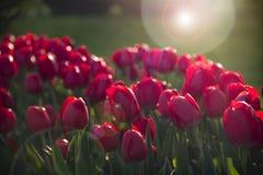 trädgårds- röda tulpan Fotografering för Bildbyråer