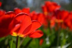 trädgårds- röda tulpan Lycklig ljus och solig dag royaltyfri fotografi