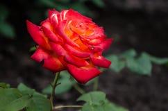 trädgårds- red steg Royaltyfria Foton