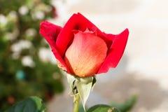 trädgårds- red steg fotografering för bildbyråer