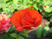 trädgårds- red steg royaltyfri fotografi