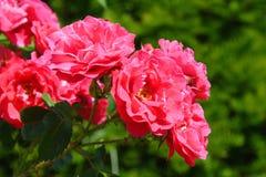 trädgårds- rosommar Arkivfoton