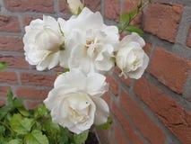Trädgårds- rosor för vit Arkivbilder