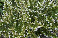 Trädgårds- små vita blommor i trädgården Arkivbilder