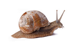 trädgårds- snail Royaltyfria Foton