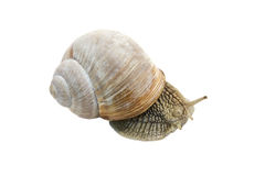 Trädgårds- Snail Royaltyfri Fotografi