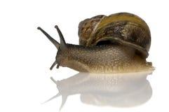 trädgårds- snail Arkivbilder