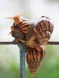 Trädgårds- snail Arkivfoton