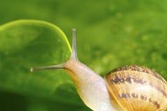 trädgårds- snail Fotografering för Bildbyråer