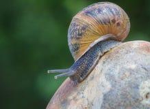 Trädgårds- snail Royaltyfri Bild
