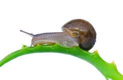 trädgårds- snail för common Arkivfoto