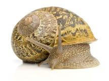 Trädgårds- Snail för Common Arkivbild