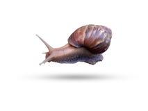 Trädgårds- Snail på vitbakgrund Fotografering för Bildbyråer