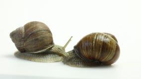 trädgårds- snailwhite arkivfilmer