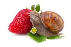 trädgårds- snigel och jordgubbe Arkivbild