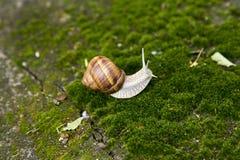 Trädgårds- snigel som är rörande på gräs Royaltyfri Foto