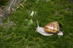 Trädgårds- snigel som är rörande på gräs Royaltyfria Bilder