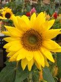 trädgårds- solros Royaltyfria Foton