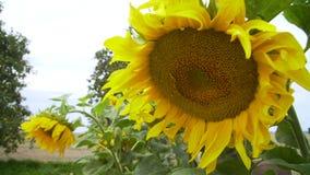 trädgårds- solrosor lager videofilmer