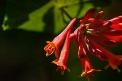 trädgårds- sommar Den blomstra kaprifolen Arkivbild