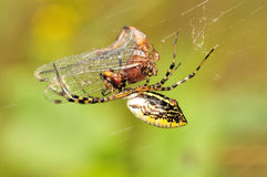 trädgårds- spindel Royaltyfria Bilder