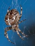 Trädgårds- spindel Arkivfoto