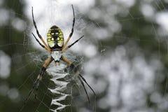 Trädgårds- spindel 02 Arkivbilder