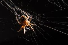 Trädgårds- spindel Fotografering för Bildbyråer